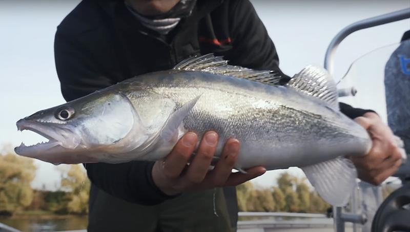 Pêche du sandre sur la Seine
