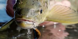 Ryuki king of trout